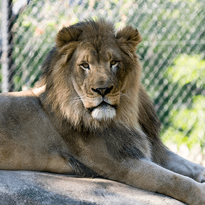 African Lion at Henry Vilas Zoo