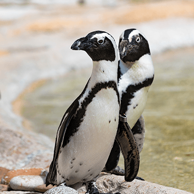 African Penguins at Henry Vilas Zoo