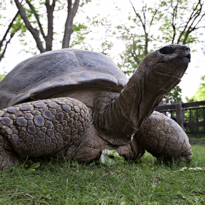 Aldabra tortoise at the Henry Vilas Zoo.