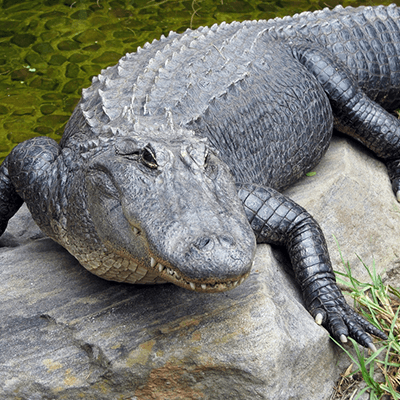 American Alligator at Henry Vilas Zoo