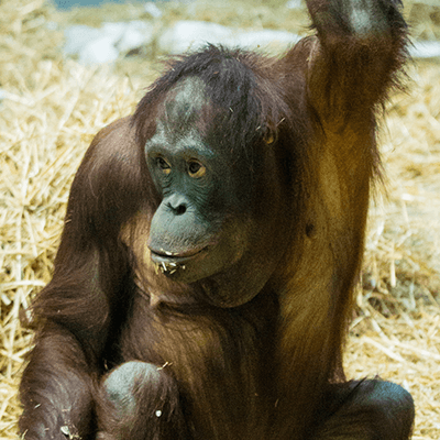Bornean Oranguatan at Henry Vilas Zoo