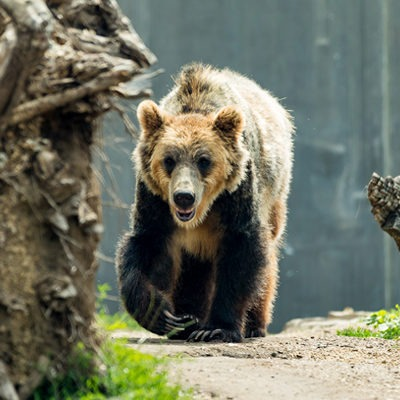 Grizzley Bear at Henry Vilas Zoo