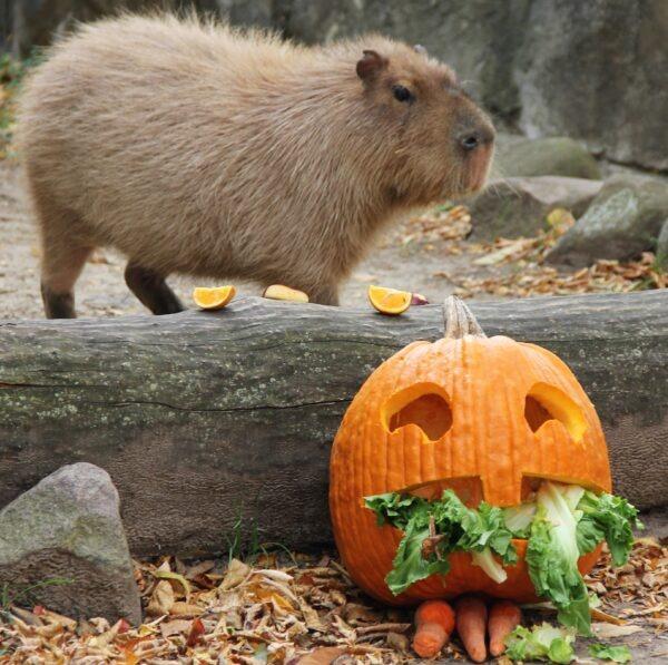 Capybara with a pumpkin