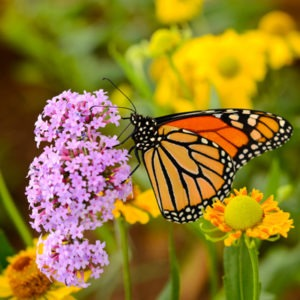 Monarch butterfly on a flower.