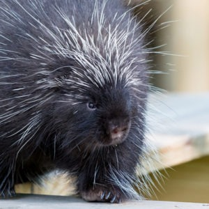 North American Porcupine at Henry Vilas Zoo
