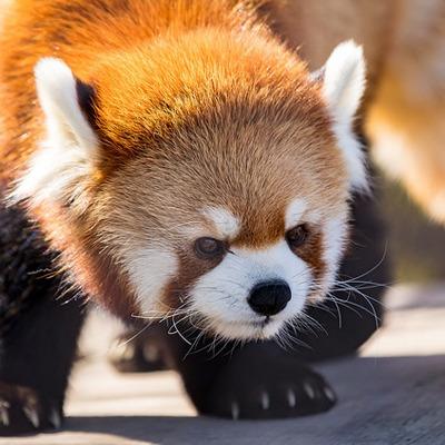 Red Panda at Henry Vilas Zoo