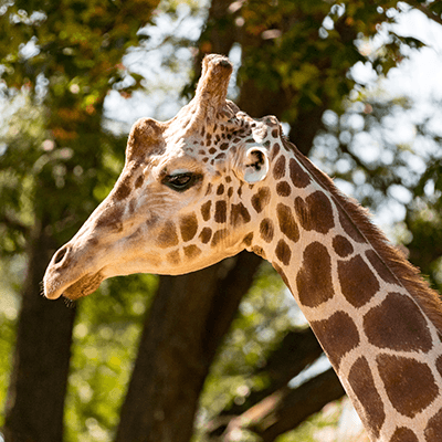 Reticulated Giraffe at Henry Vilas Zoo
