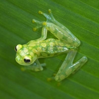 Reticulated Glass Frog at Henry Vilas Zoo