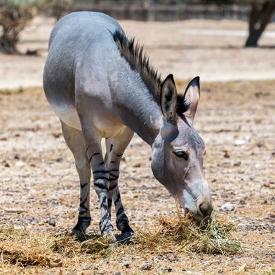Somali Wild Ass at Henry Vilas Zoo