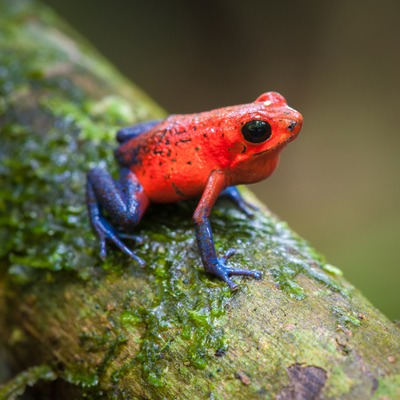 Strawberry Poison Frog at Henry Vilas Zoo