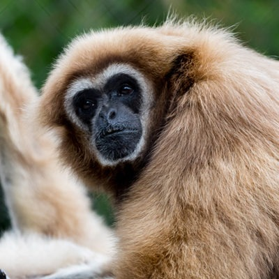 White Handed Gibbon at Henry Vilas Zoo