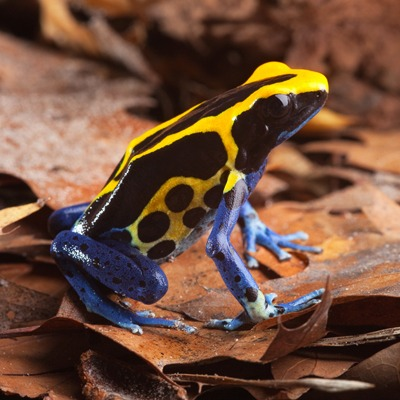 Yellow and Blue Poison Dart Frog at Henry Vilas Zoo