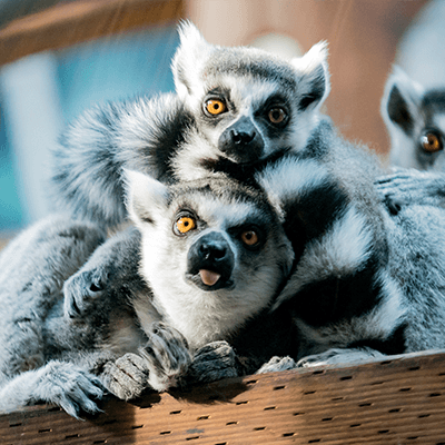 Ring Tailed Lemurs at Henry Vilas Zoo
